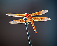 Moab Dragonfly. Image taken with a Nikon D300 camera and 80-400 mm VR lens (ISO 640, 400 mm, f/8, 1/250 sec)