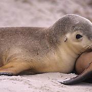 Australian Sea-lion, (Neophoca cinerea) Pup nursing. Seal Bay Conservation Park. Kangaroo Island. Australia.