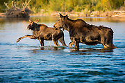 High-Stepping moose calf and cow crossing a stream in Grand Teton National Park.