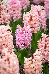 Hyacinthus orientalis 'Anna Marie'