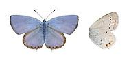 Short-tailed Blue - Everes argiades
