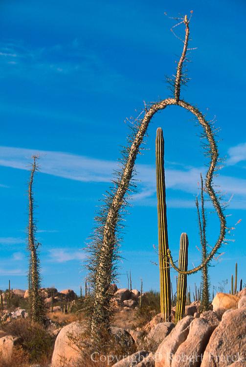 MEXICO, BAJA CALIFORNIA Cardon and 'Boojum' Cirio trees