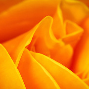 Yellow rose closeup, Brisbane, Australia (June 2002)