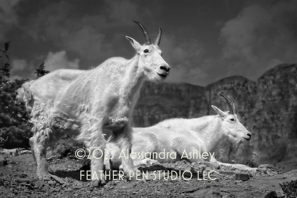 Pair of mountain goats on mountainside at Glacier National Park, Northwest Montana, USA.