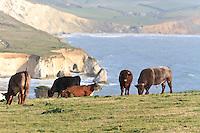 Cows at Freshwater Bay