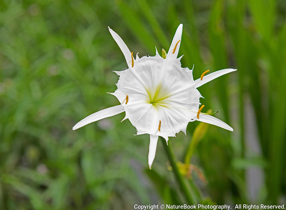 The beautiful Cahaba Lily is found only in Alabama, Georgia, and South Carolina.  This is an aquatic plant that requires a swift stream and plenty of sunshine to survive.  Interestingly, each flower only lasts one day.  This image was made in the Cahaba River in Alabama.