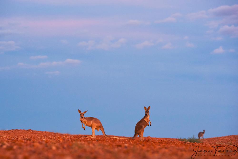 Red kangaroos  (Macropus rufus) with dramatic desert sky in warm light,  Sturt Stony Desert,  Australia