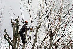 UK ENGLAND LONDON 17JAN06 - Horticultural worker prunes a tree in Maida Vale, Westminster, London...jre/Photo by Jiri Rezac..© Jiri Rezac 2006..Contact: +44 (0) 7050 110 417.Mobile:  +44 (0) 7801 337 683.Office:  +44 (0) 20 8968 9635..Email:   jiri@jirirezac.com.Web:    www.jirirezac.com..© All images Jiri Rezac 2006 - All rights reserved.