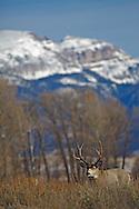 Mule Deer Buck, Sleeping Indian Mountain, Jackson Hole, Wyoming
