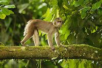 White-fronted Capuchin Monkey (Cebus albifrons) crossing tree above Anangu creek in Yasuni National Park, Orellana Province, Ecuador