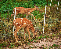 Fawns with spots in the weeds. Image taken with a Leica SL2 camera and 24-90 mm lens