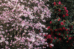 Magnolia x loebneri 'Leonard Messel' and Camellia japonica 'Mercury'
