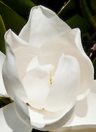 Southern Magnolia flower beginning to blossom