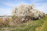 Blackthorn bushes in flower in spring Methersgate, Sutton, Suffolk, England, UK