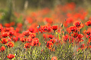 A field of spring poppies