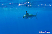 free swimming blue marlin, Makaira nigricans, swims into bubble trail left by propellers of sportfishing boat; Vava'u, Kingdom of Tonga, South Pacific
