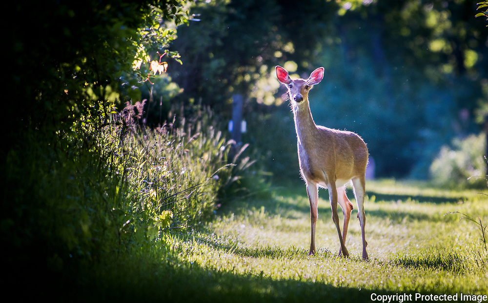 A white tail deer pauses on Oxbow Trail at the Chippewa Nature Center in Midland, Michigan.