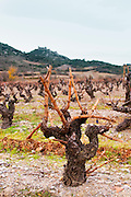 Chateau de Nouvelles. Fitou. Languedoc. Vines trained in Gobelet pruning. Old, gnarled and twisting vine. Terroir soil. The vineyard. France. Europe. Mountains and the Chateau d'Aguilar Cathar hilltop fortress dating from the 11th and 12th century in the background.