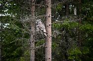 JÄMTLAND 2100622<br /> Lappugglan spanar från ett träd under en naturtur i skogarna utanför Östersund.<br /> Foto: Per Danielsson/Projekt.P
