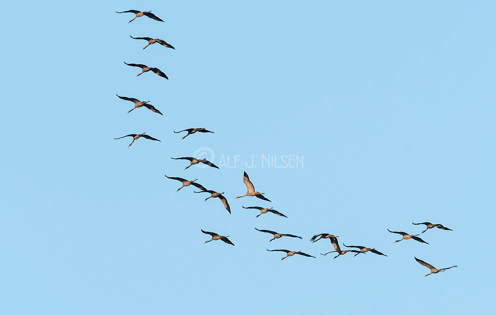 Flock of common cranes (Grus grus) flying over Rajasthan, India.