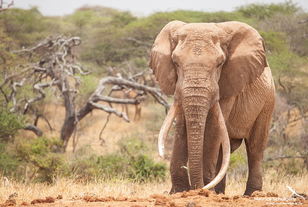 One Ton - One of Kenya's most spectacular remaining tuskers. Photographed at Ol Donyo Lodge, Great Plains Conservation.