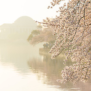 Morning haze at the cherry blossoms along the Tidal Basin, with the Jefferson Memorial in the background. The Yoshino Cherry Blossom trees lining the Tidal Basin in Washington DC bloom each early spring. Some of the original trees from the original planting 100 years ago (in 2012) are still alive and flowering. Because of heatwave conditions extending across much of the North American continent and an unusually warm winter in the Washington DC region, the 2012 peak bloom came earlier than usual.