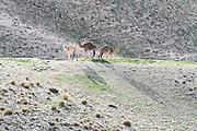 Three Camels in the Judea Desert