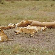 African Lion, (Panthera leo) Lioness and cubs sleeping.Serengeti Plains. Masai Mara Game Reserve. Kenya. Africa.