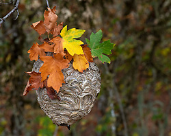 November 3, 2018 - Elkton, OREGON, U.S - Colorful fall leaves mark a large bald-faced hornet's nest hanging in a tree on a hillside near Elkton in rural western Oregon. Known for their aggressiveness, baldfaced hornets have a unique defense in that they can squirt or spray venom from their stingers into the eyes of nest intruders. The venom causes temporary blindness. (Credit Image: © Robin Loznak/ZUMA Wire)