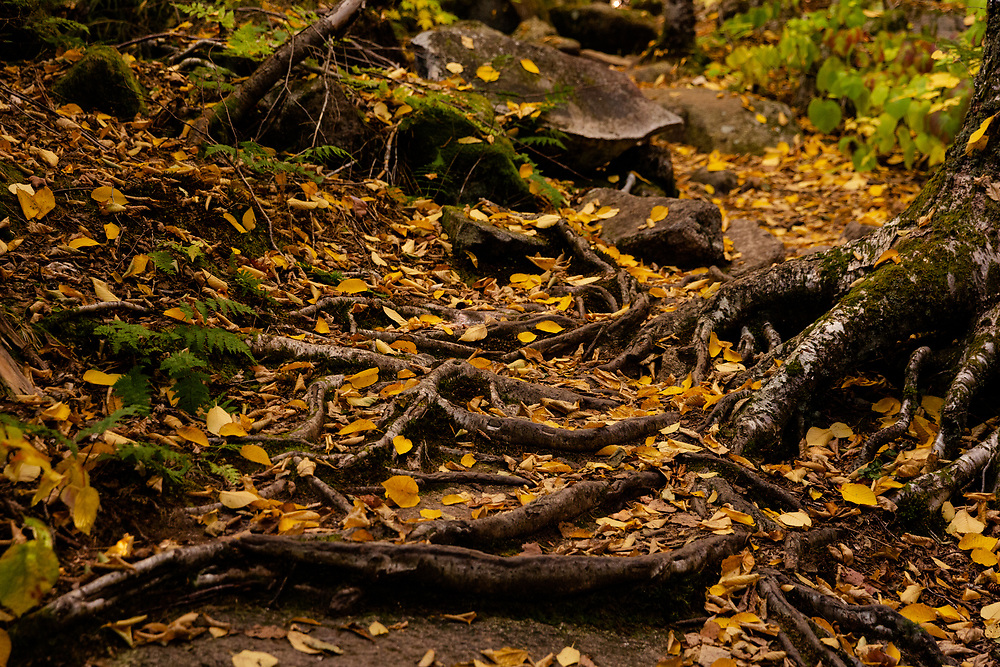 Fallen leaves blanketing the tree roots along a forest trail in Harts Location.