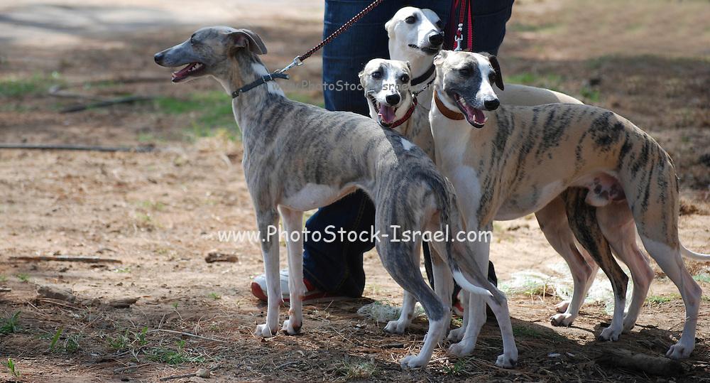 Israel, Tel Aviv, The International Dog Show 2010 Whippets