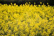 Rape seed crop field, Wyck Rissington, The Cotswolds, England, Gloucestershire, United Kingdom