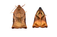 49.013 (0977)<br /> Large Fruit-tree Tortrix - Archips pagana