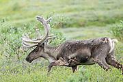 Barren Gorund Caribou bull in velvet in arctic habitat.