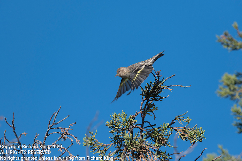 color photograph of a Pine Sisking taking off from a Juniper Tree branch