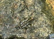 Stonefly - Perla bipunctata