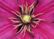 Close up abstract image of the centre of a Clematis 'Ville de Lyon' growing in a Norfolk garden