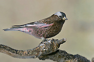 Gray-crowned Rosy-Finch - Leucosticte tephrocotis - Adult male