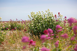Red Valerian on the beach at Dungeness. Centranthus ruber