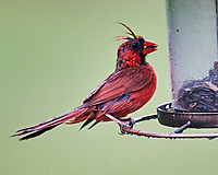 Northern Cardinal. Image taken with a Nikon D4 camera and 600 mm f/4 VR lens.