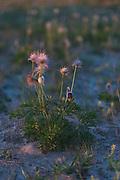 "The small pasque flowers (Pulsatilla pratensis) with fruits and occasional flower buds growing on coastal dunes in sunset, nature reserve ""Užava"" (dabas liegums ""Užava""), Kurzeme, Latvia Ⓒ Davis Ulands | davisulands.com"