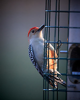 Red-breasted Woodpecker. Image taken with a Nikon D5 camera and 600 mm f/4 VR telephoto lens (ISO 1100, 600 mm, f/4, 1/640 sec).