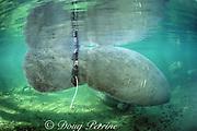 Florida manatee with radio collar on fluke, Trichechus manatus latirostris, Blue Springs State Park, Florida