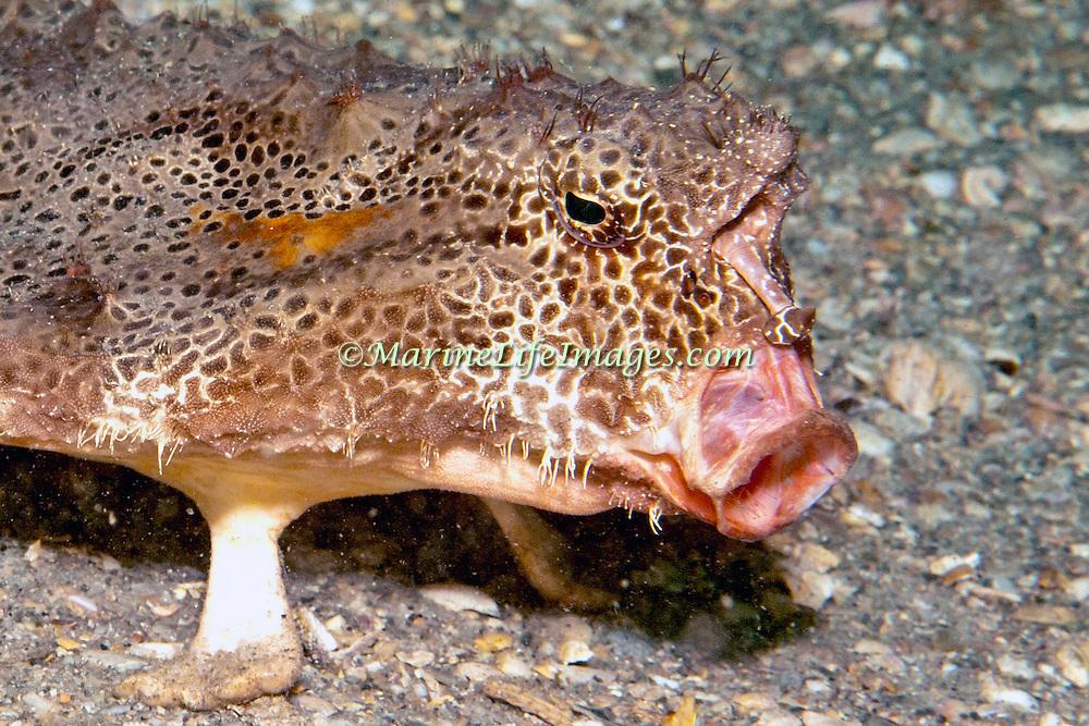 Polka-dot Batfish inhabit sand, mud, rubble and rocky bottoms near reefs in Florida, Bahamas and Gulf of Mexico; picture taken Blue Heron Bridge; Palm Beach, FL.