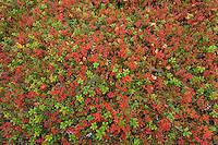 Cowberry, Vaccinium vitis-idaea L.  sprigs and Blueberry, Vaccinium myrtillus L.  sprigs, Oulanka, Finland.