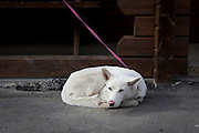 White, blue eyed dog in Longyearbyen, Svalbard. The northernmost settlement with more than 1,000 people on earth, and is quite well-serviced town, with an airport and university and hospital.