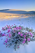 Sand verbena blooms in the harsh environment of White Sands National Monument near Alamogordo, New Mexico