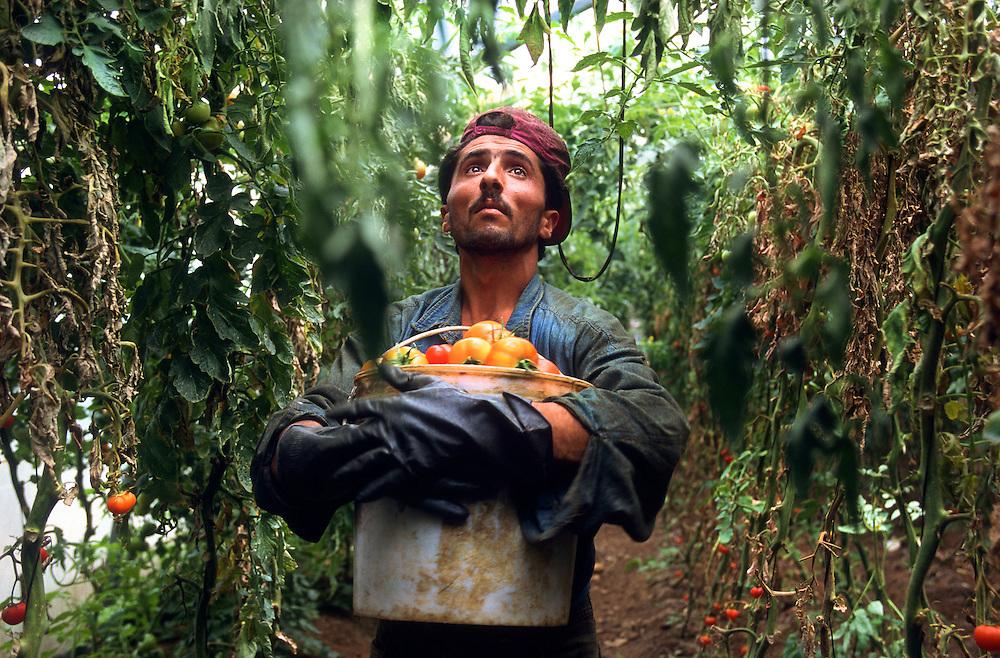 Syrian worker, tomato farm. Beirut, Lebanon