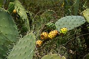 Fruit of the Opuntia ficus-indica cactus. Know in Israel as sabres or Tzabar and is a symbol of Israelis as it is prickly on the outside but sweet on the inside. This plant is originally from Mexico