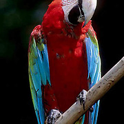Green-winged Macaw, (Ara chloroptera) In bird park. Ranges from Central America to South America.  Captive Animal.